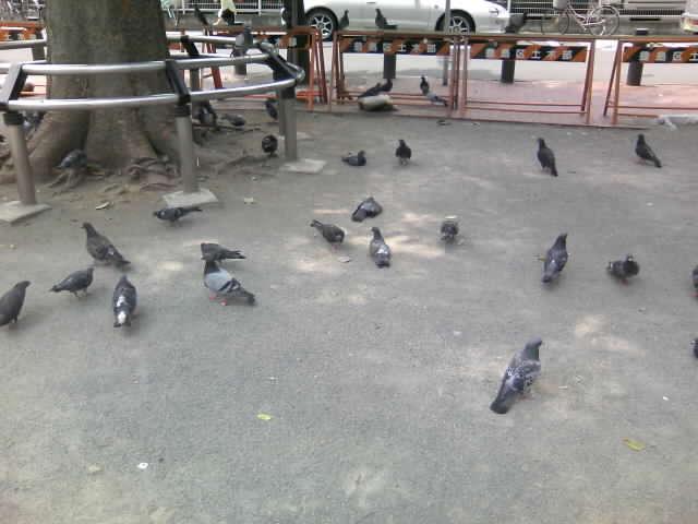 鳩がいっぱい